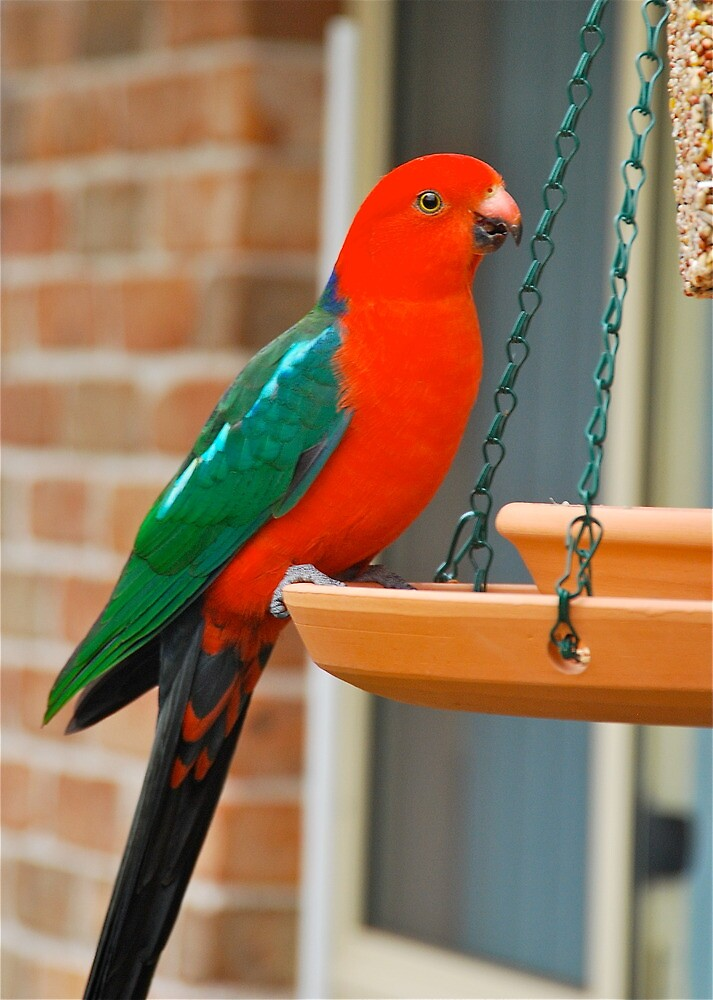King Parrot Feeder by Penny Smith
