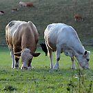Moo Cows by dgscotland