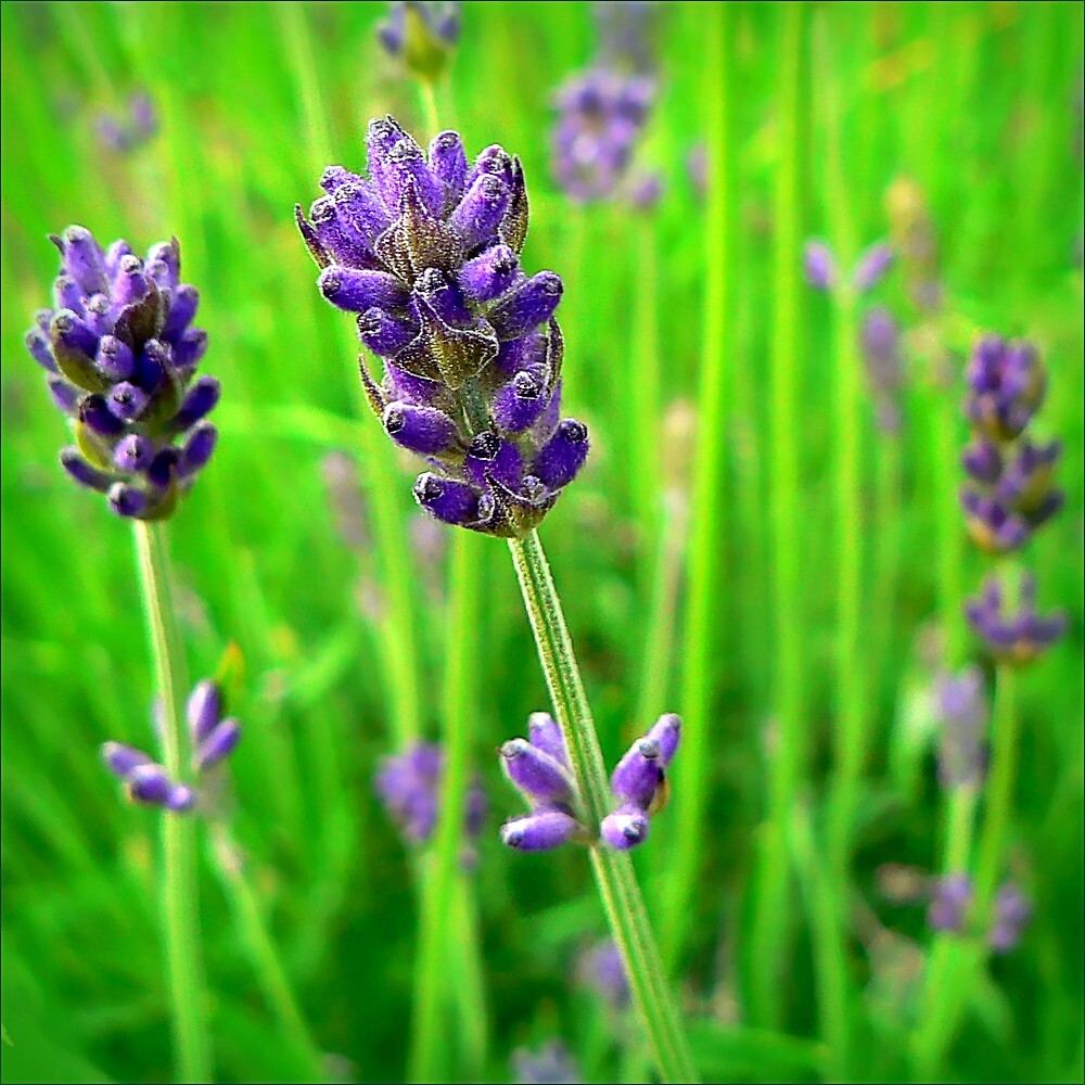 A Little Bit of Lavender in a Sea of Green by paintingsheep