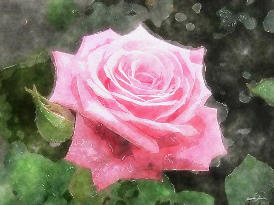 Pink Roses in Anzures 4 Watercolor by Christopher Johnson