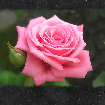 Pink Roses in Anzures 4 Blank P4F0 by TravelPhotoArt