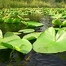 Lilly Pads by Tori Snow