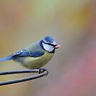 Blue Tit by Jane-in-Colour