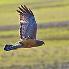 Spotted Harrier by Wildpix