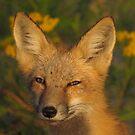 sweet fox by Alex Call