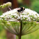 Bumble Bee by Sue Fallon Photography