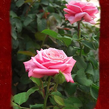 Pink Roses in Anzures 5  Blank P5F0 by TravelPhotoArt