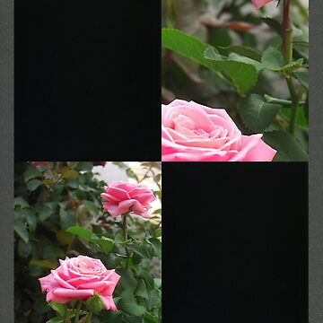 Pink Roses in Anzures 5  Blank Q2F0 by TravelPhotoArt
