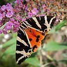 Jersey Tiger Moth by John Hooton