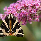 Jersey Tiger Moth at Rest by John Hooton