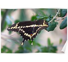 American swallowtail Poster