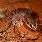Fat Tailed Gecko  - Diplodatylus conspicillatus ,  Kings canyon  - Alice Springs by john  Lenagan