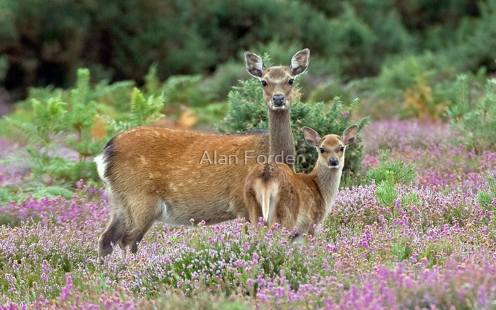 Sika hind and calf by Alan Forder