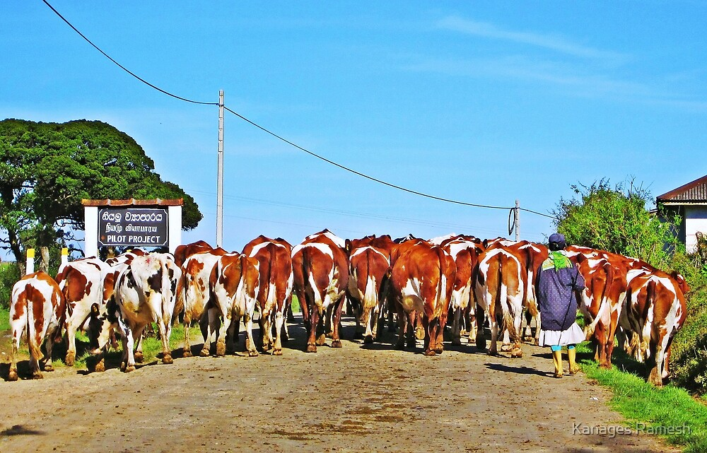 Slow mooing traffic by Kanages Ramesh