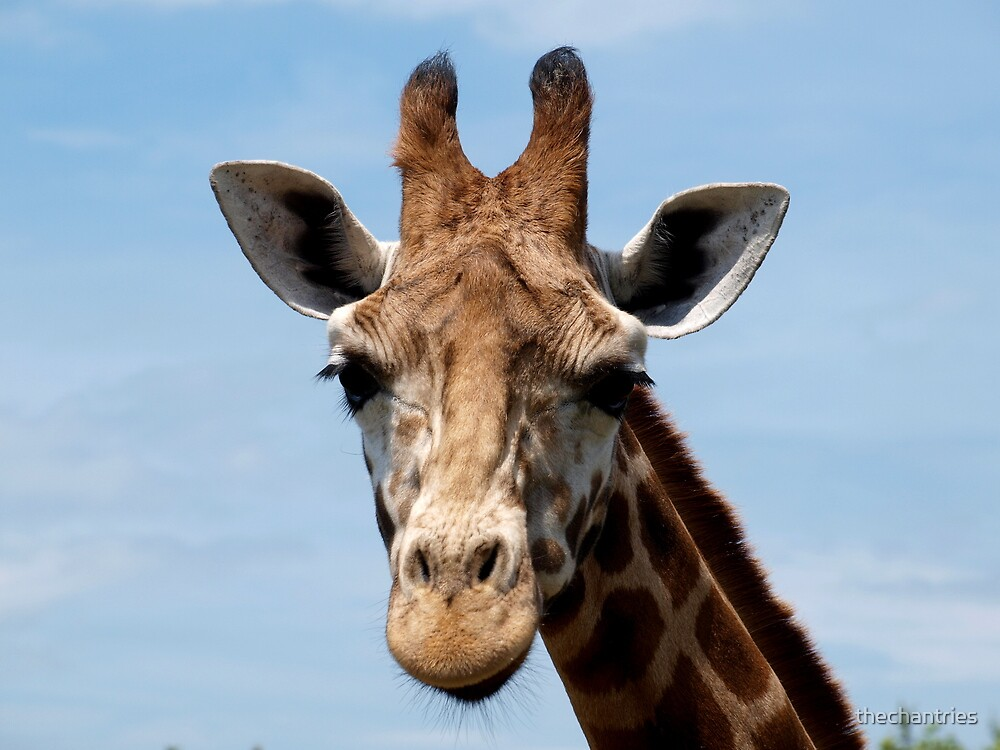 """Giraffe profile head shot"" by thechantries 