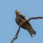 Black Kite by Steve Randall