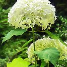 White Hydrangea in Garden by Susan Savad