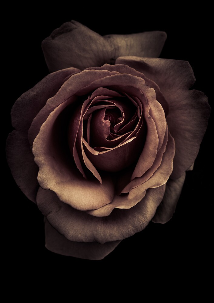 A rose in monochrome by alan shapiro