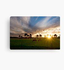 Evening light ~ Stockinbingal NSW Canvas Print
