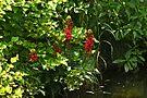 Cardinal Flower Wildflower - Lobelia cardinalis by MotherNature