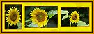 Sunflower - A Portrait In Yellow by MotherNature