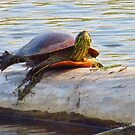 Turtle Surfing by lorilee