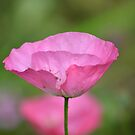 Pink tulip by Prettyinpinks