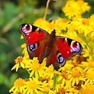 Red Butterfly on Yellow Flower by Sue Fallon Photography
