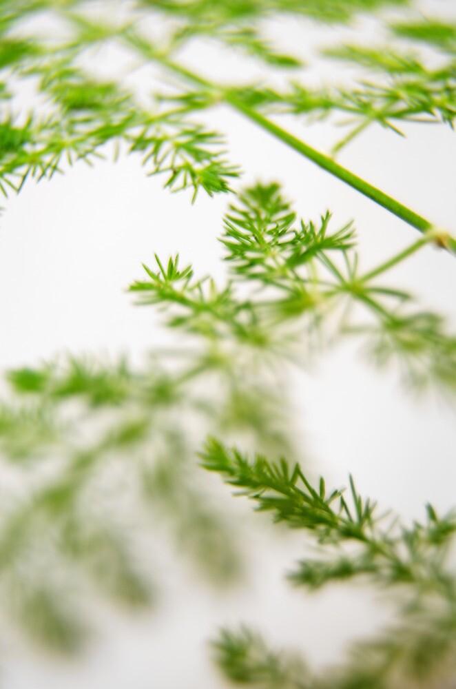 Asparagus Fern by photojeanic