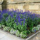 Blue Salvias by MidnightMelody
