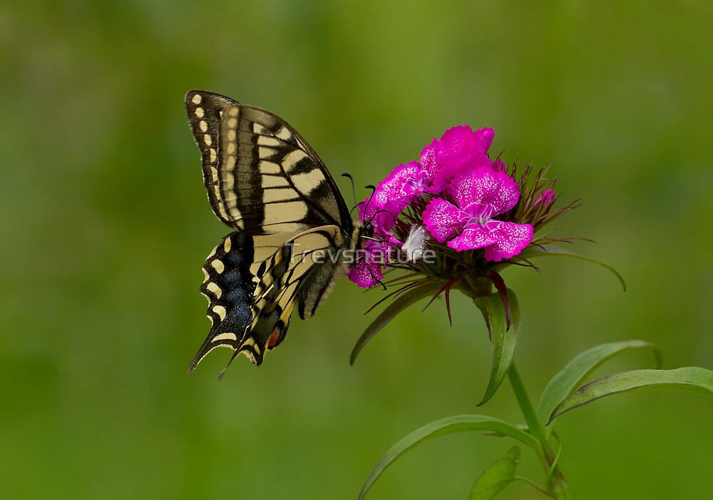 Swallowtail Butterfly by Trevsnature