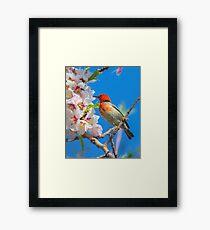 Scarlet Honeyeater Canberra Australia  Framed Print