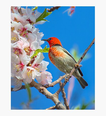 Scarlet Honeyeater Canberra Australia  Photographic Print