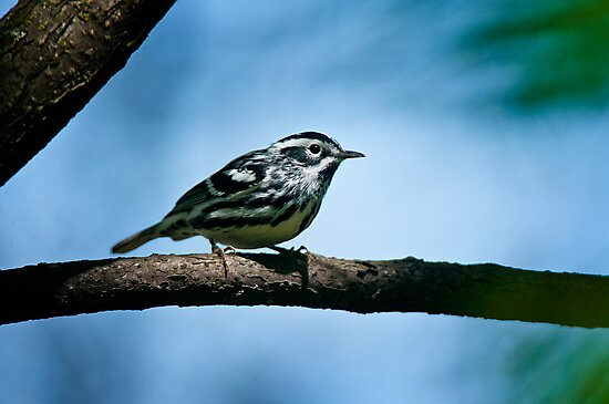 Black And White Warbler by Michael Cummings