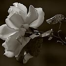 Mono Rose by snapdecisions