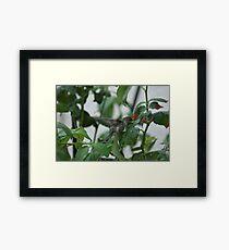 Hummingbird Photographs Framed Print