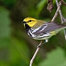 Black Throated Green Warbler by Michael Cummings