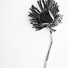 Black & White Dried Flower  by Voila and Black Ribbon