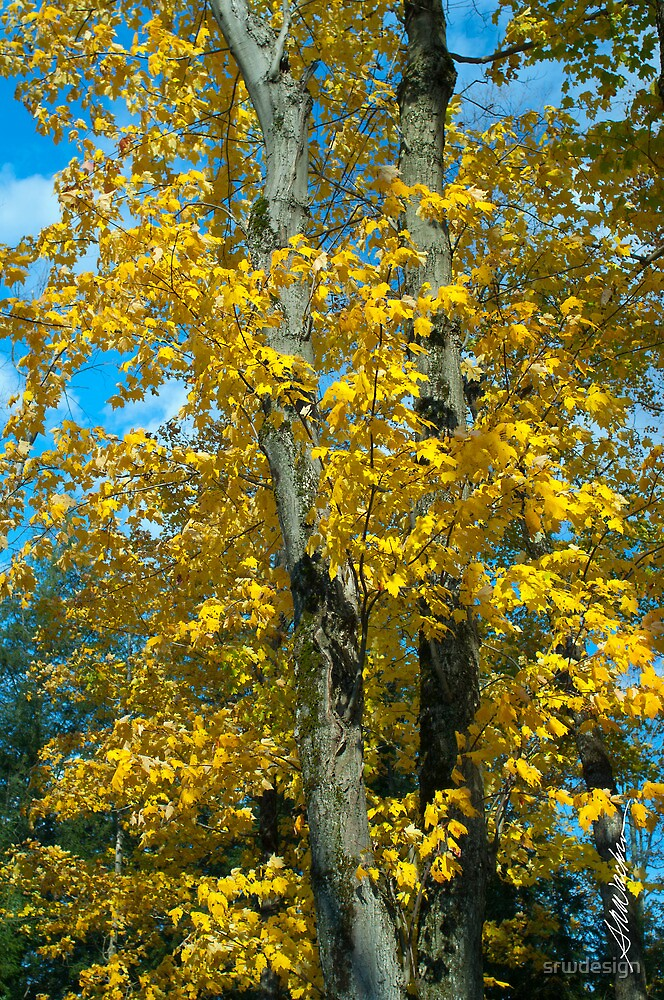 Yellow Maples by Susan R. Wacker