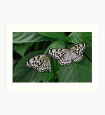 Paper Kite, Rice Paper, or Large Tree Nymph Butterfly Art Print