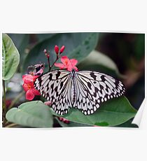 Paper Kite, Rice Paper, or Large Tree Nymph Butterfly  	 Poster