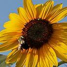 Sunflowe and Bee by VJSheldon