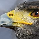 Harris Hawk by George Crawford
