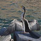 Cormorant Dance by Gary Kelly