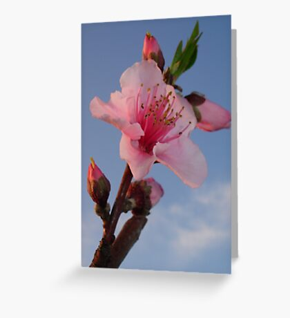 Peach Blossom at Dawn Greeting Card