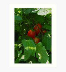 Framed by Leaves ~ Grape Tomatoes Art Print