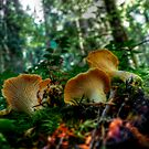 Golden Chanterelle by Charles & Patricia   Harkins ~ Picture Oregon