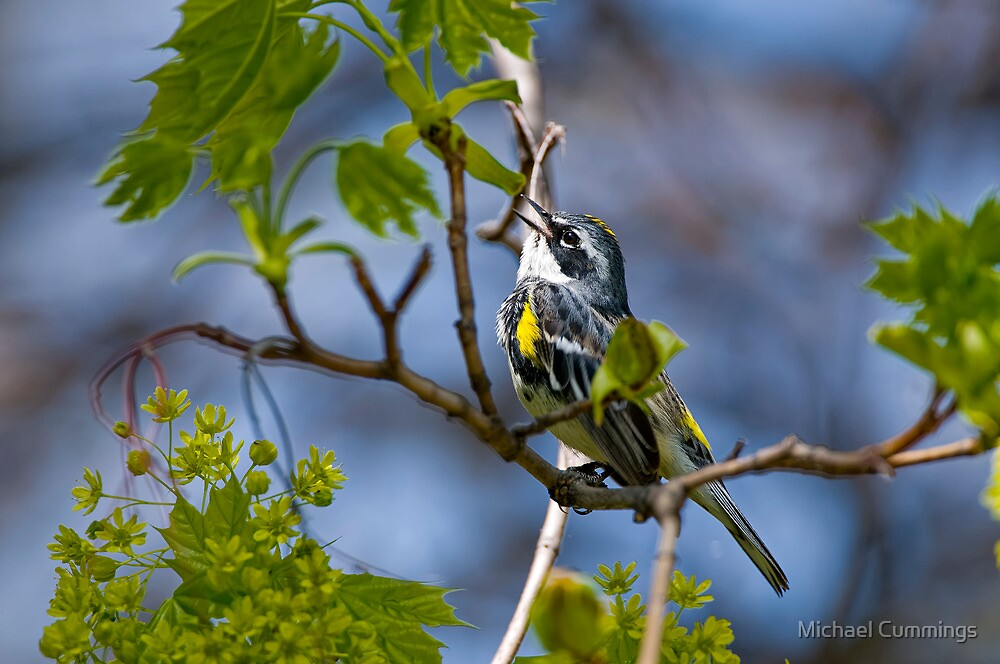 Yellow Rumped Warbler by Michael Cummings