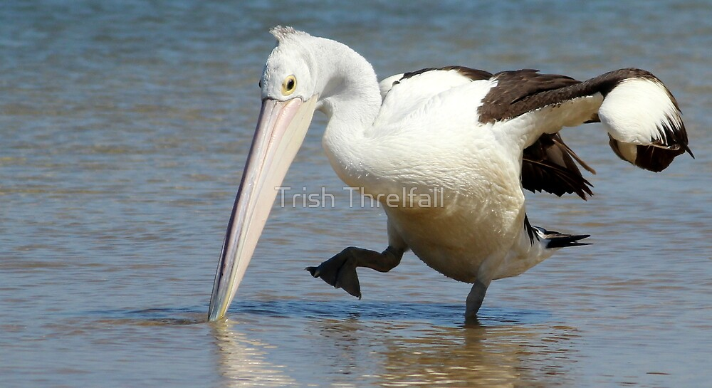 doing the pelican stomp, by Trish Threlfall
