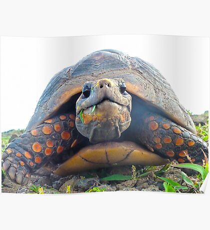 Red footed Tortoise Poster